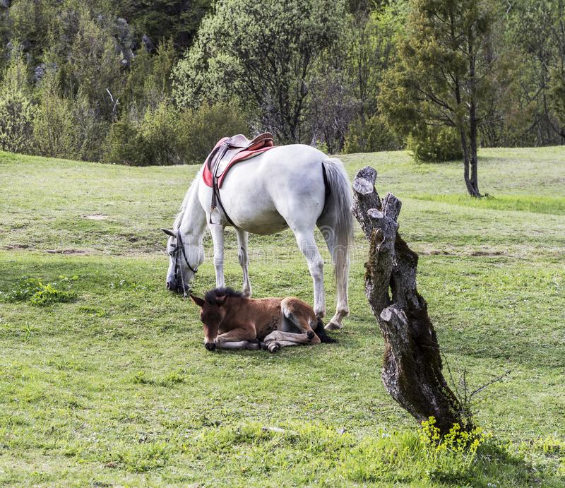 A white horse and a brown foal lying on a green meadow royalty free stock images