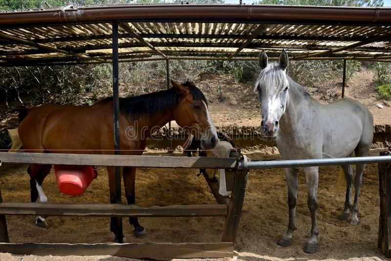 White horse and brown horse inside a paddock royalty free stock image