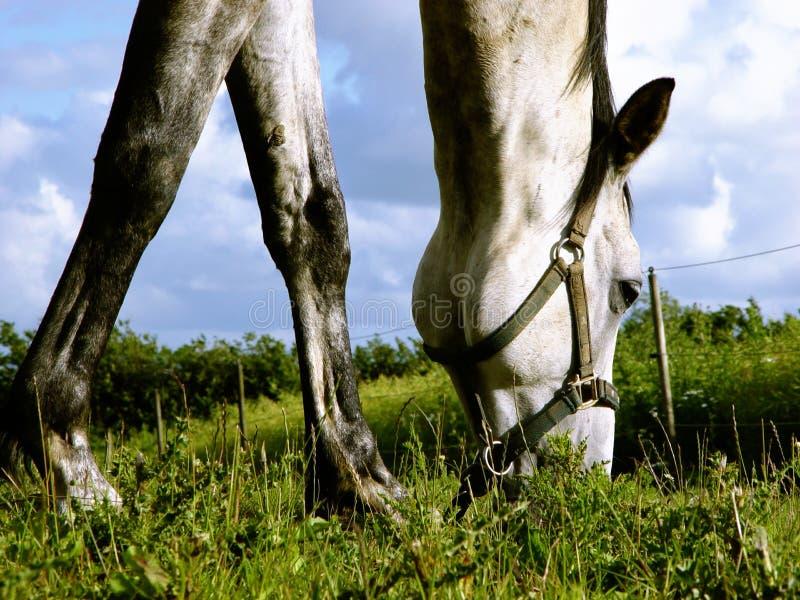 white horse browsing royalty free stock photo