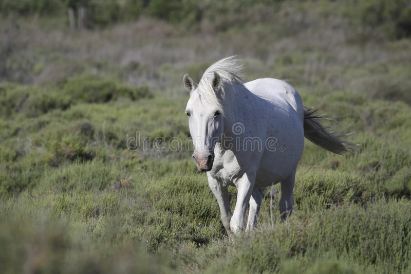 Download White horse in Camargue stock photo. Image of horse, pasture - 32145396