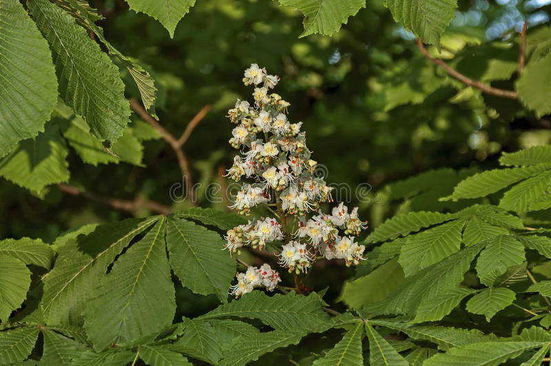 White horse-chestnut, Aesculus hippocastanum or Conker tree with flower and leaf, Sofia royalty free stock photos