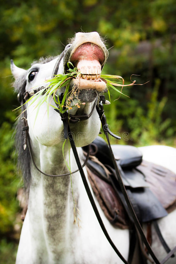 White horse chewing grass royalty free stock image