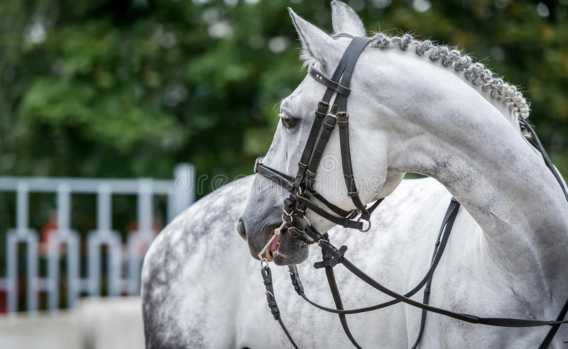 White horse close up during dressage show. White horse close up portreture during dressage show stock photo