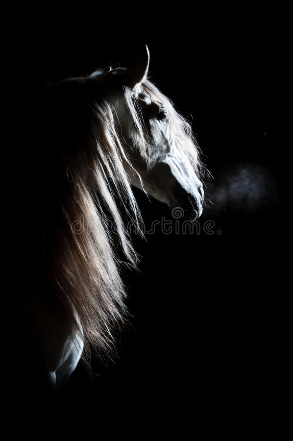White horse on the dark background. White Andalusian horse on the dark background, studio shot stock images