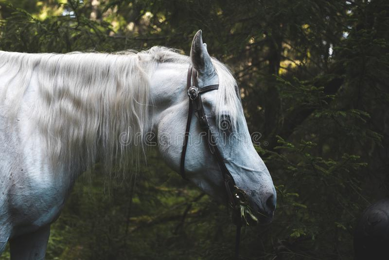 White horse deep in the forest. Of Norway stock photo