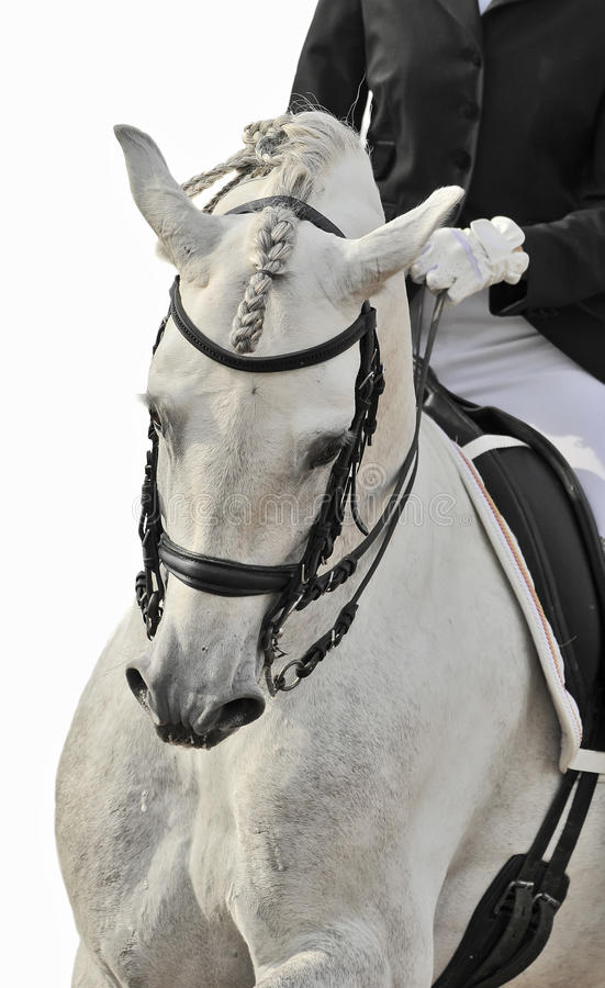Download White horse dressage stock image. Image of black, snaffle - 13097125
