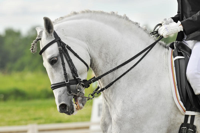 White horse dressage. White andalusian horse dressage in summer stock photos