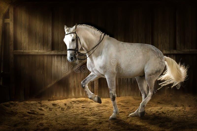 White horse dressage. White horse make dressage piaff in dark manege royalty free stock images