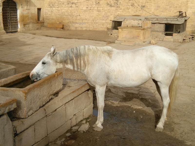 A white horse drinking water. royalty free stock photography