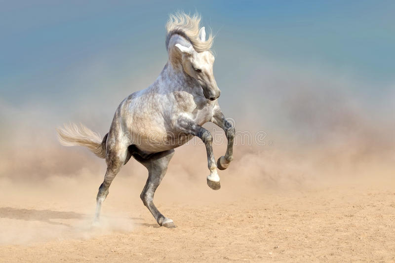 White horse in dust royalty free stock photo