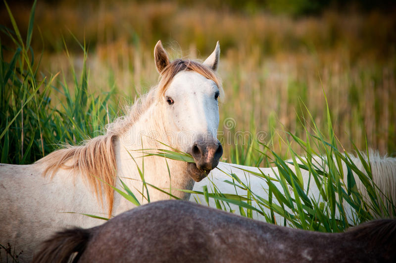 White horse eating grass stock photography