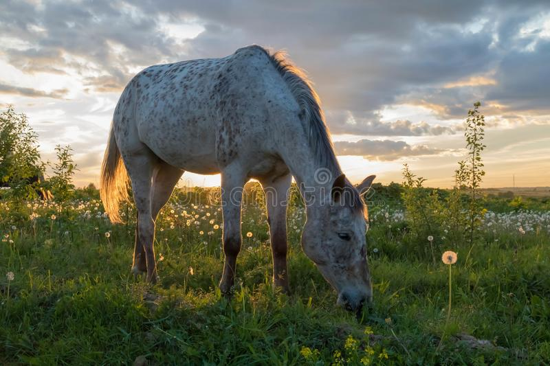 White horse eating green grass on field in a beautiful sunset. In warm summer evening stock image