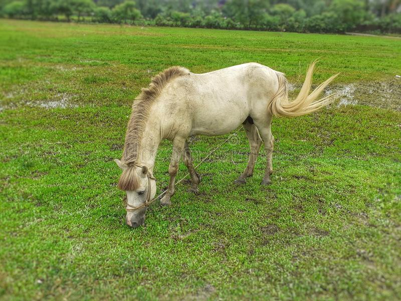 White horse eating green grass in the field royalty free stock photography