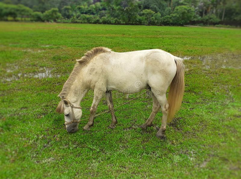 White horse eating green grass in the field royalty free stock photo