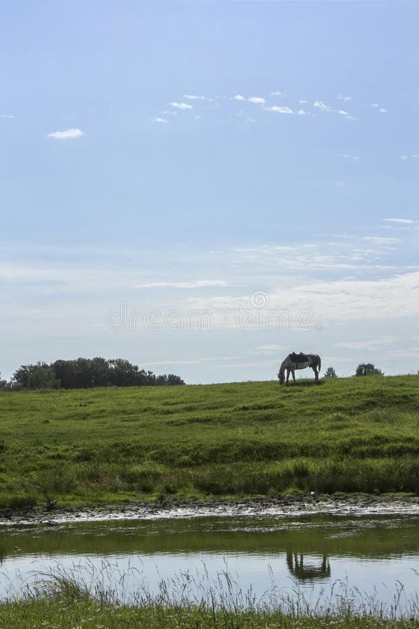 White horse grazes on a green meadow. This is reflected in the river stock photos