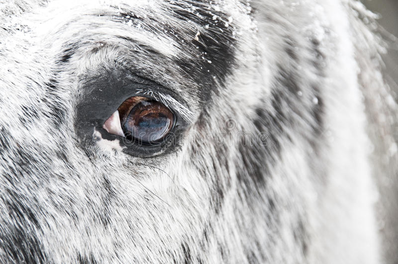 Download White horse eye close up stock photo. Image of profile - 12330962