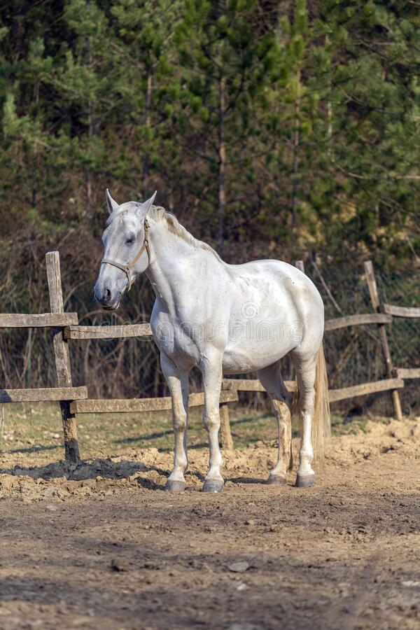 White horse in a horse farm.  royalty free stock photo