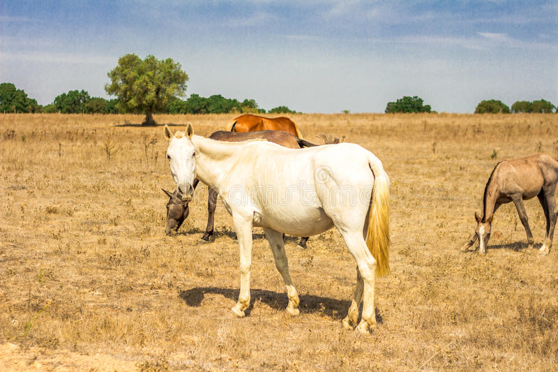 White Horse royalty free stock photography