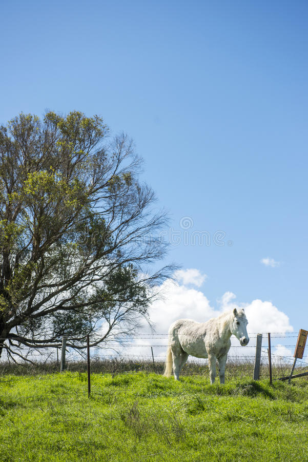 White horse in Farm stock photography