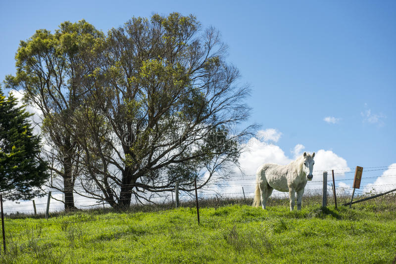 White horse in Farm royalty free stock photos