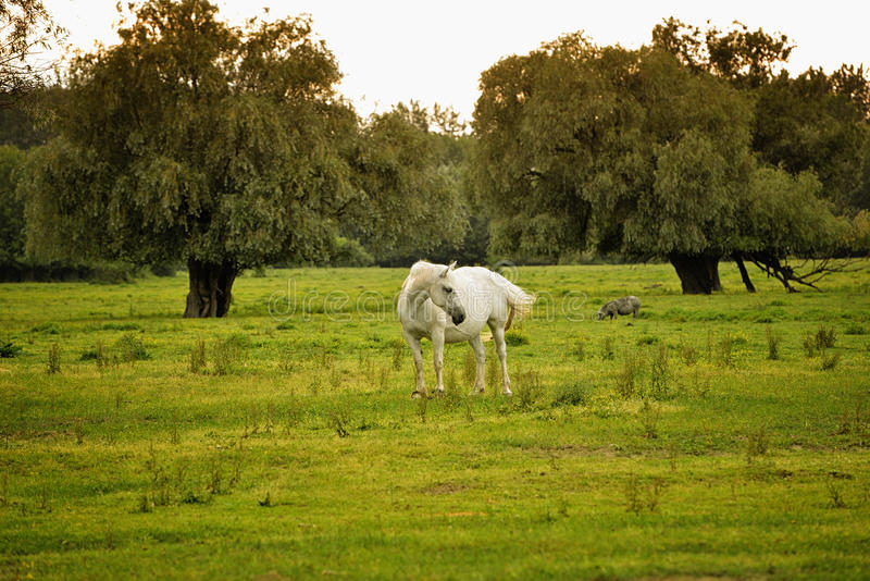 White horse in a field. White horse on a green field royalty free stock photos