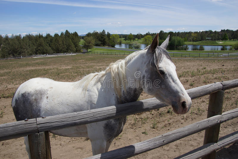 Download White horse in field stock image. Image of oregon, animal - 31352869