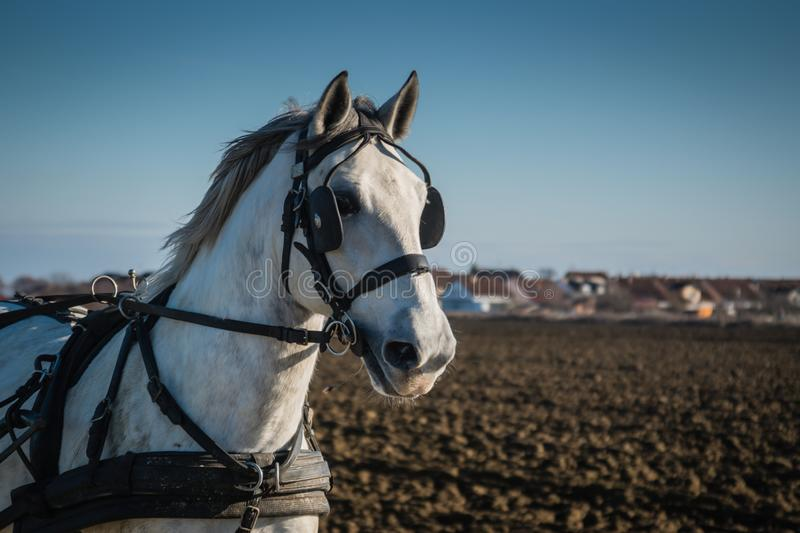 White horse on the field with leather straps, headshot royalty free stock photo