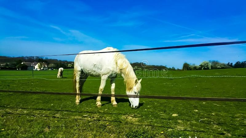 White horse in France royalty free stock images