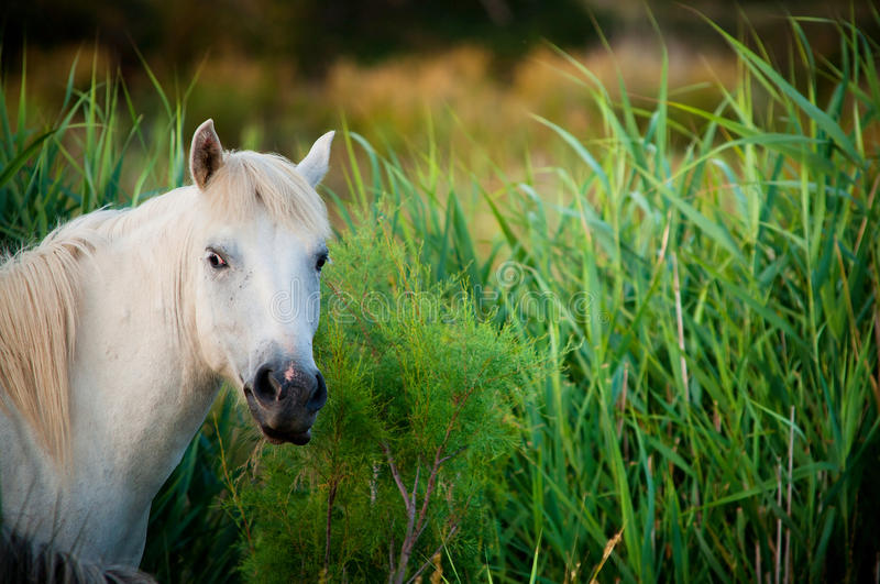 White horse in grass royalty free stock photo