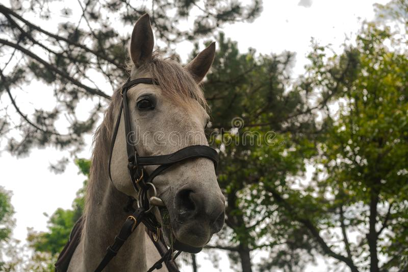 White horse. white gray horse grazing on the green grass in the forest, horse harnessed in leather harness, close up portrait. White gray horse grazing on the royalty free stock images
