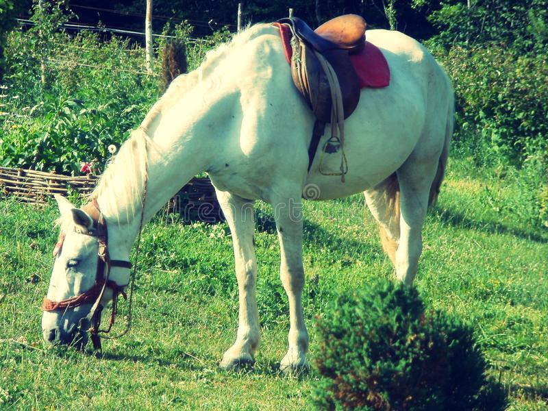 The white horse grazes on the grass royalty free stock images
