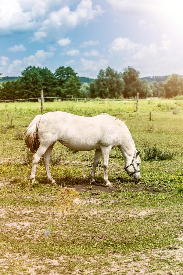 White horse grazes in a meadow in the village, green field blue sky royalty free stock image
