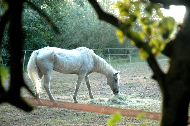 White horse is grazing. White horse is eating hay stock images