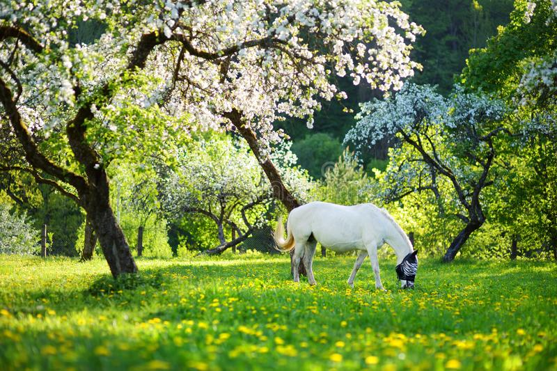 White horse grazing in beautiful old apple tree garden on sunny spring day. Blooming apple trees over bright blue sky royalty free stock image