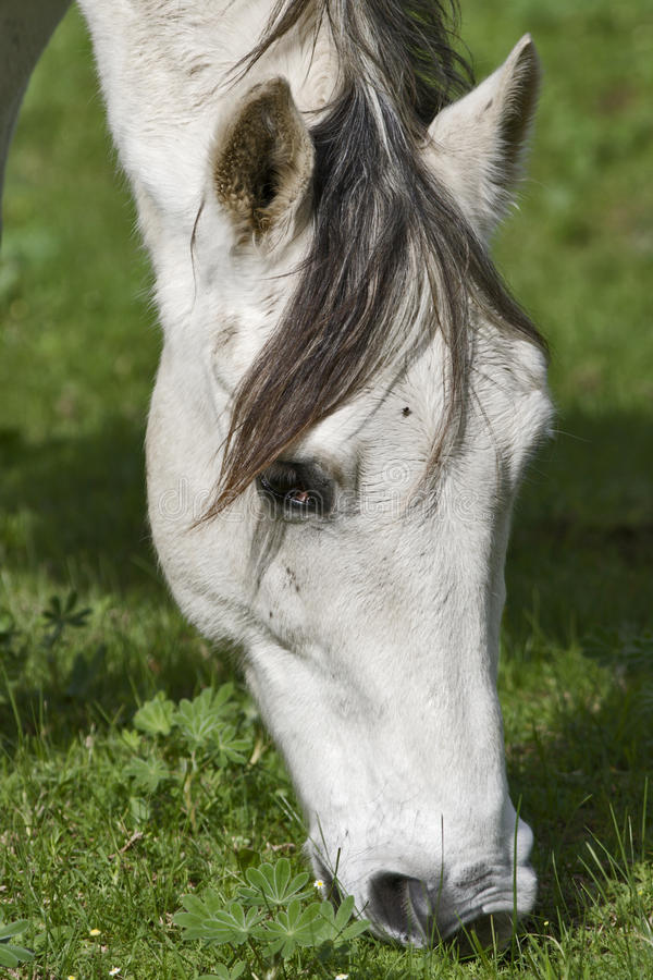 Download A White Horse Grazing In Clover Stock Photo - Image: 9959494