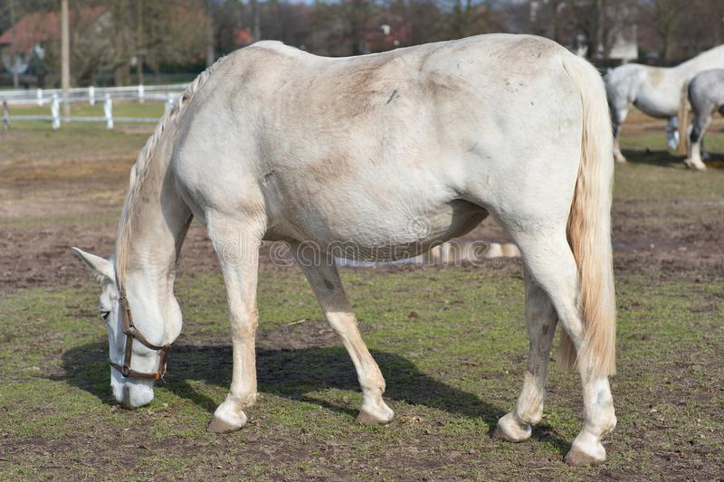 White horse grazing in the corral in Czech Republic. Detailed Picture of the white horse outside on the pasture land. White horse grazing in the corral in Czech stock photo
