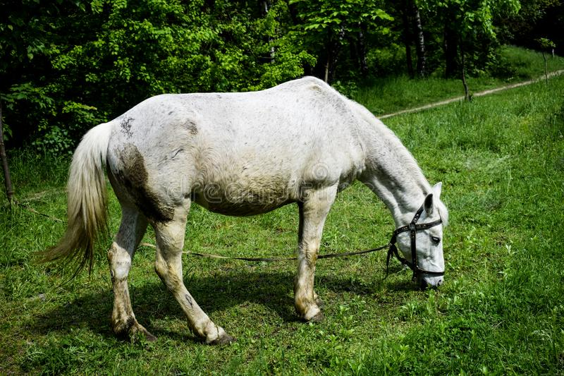 White horse grazing on a green meadow in a summer day stock photo