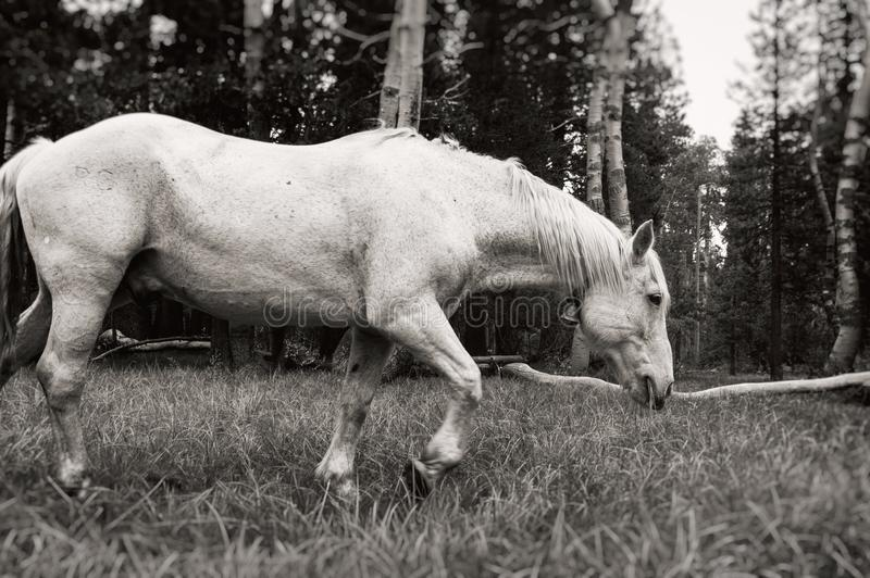 White horse grazing in mountain meadow, black and white royalty free stock photo