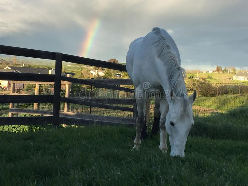 White horse grazing and Rainbow with storm clouds royalty free stock images