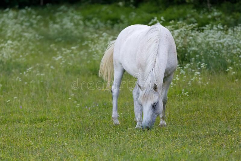 White horse is grazing in spring meadow stock photos