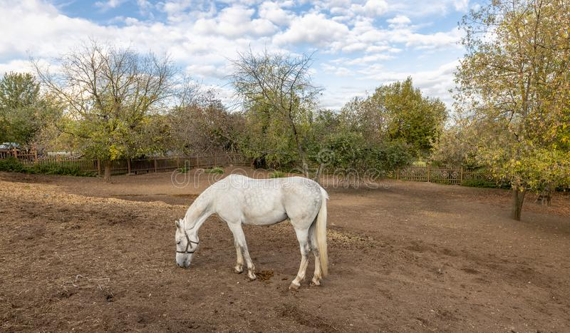 White horse grazing in the stable yard. Stable yard in the Museum-reserve Kolomenskoye. Manor house with exhibition rooms and saddlery workshop, a shed for royalty free stock image