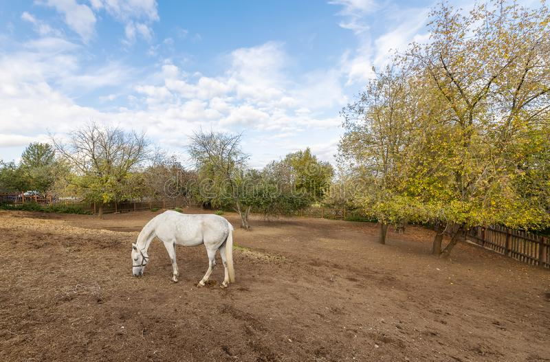 White horse grazing in the stable yard. Stable yard in the Museum-reserve Kolomenskoye. Manor house with exhibition rooms and saddlery workshop, a shed for royalty free stock photos