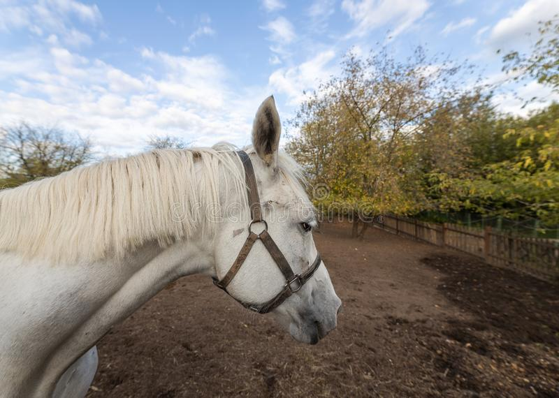 White horse grazing in the stable yard. Stable yard in the Museum-reserve Kolomenskoye. Manor house with exhibition rooms and saddlery workshop, a shed for royalty free stock photo