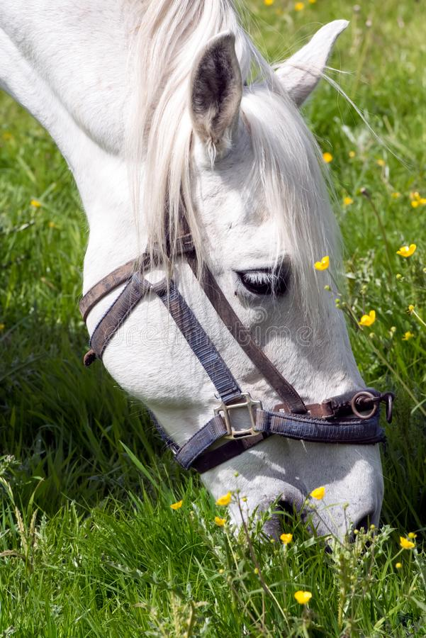 White Horse grazing on summer meadow royalty free stock photography