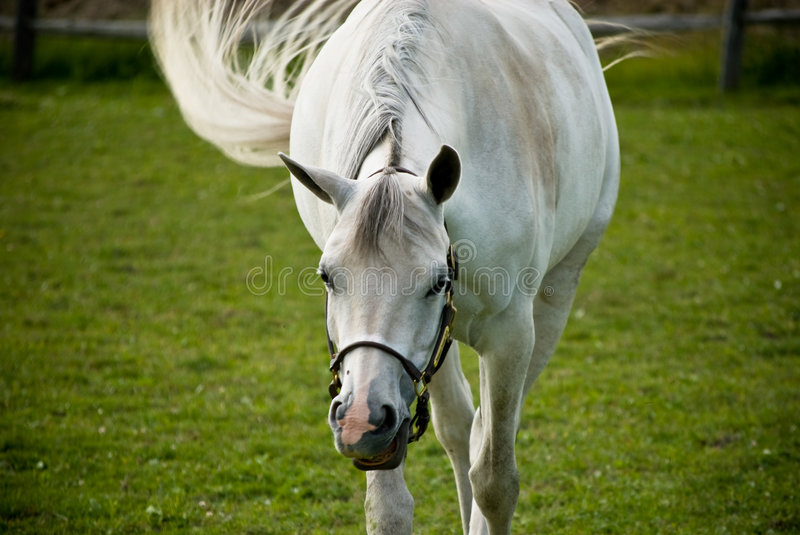 White horse in green field. A white horse in green field, swaying its tail royalty free stock photo