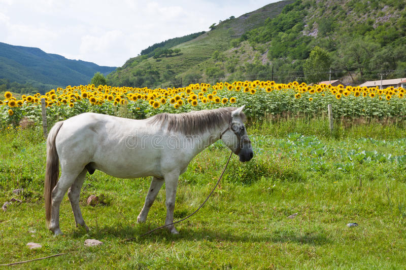 White horse in green grassland. Closeup of white horse in green grassland in chengde SaiHanBa, in China stock photo