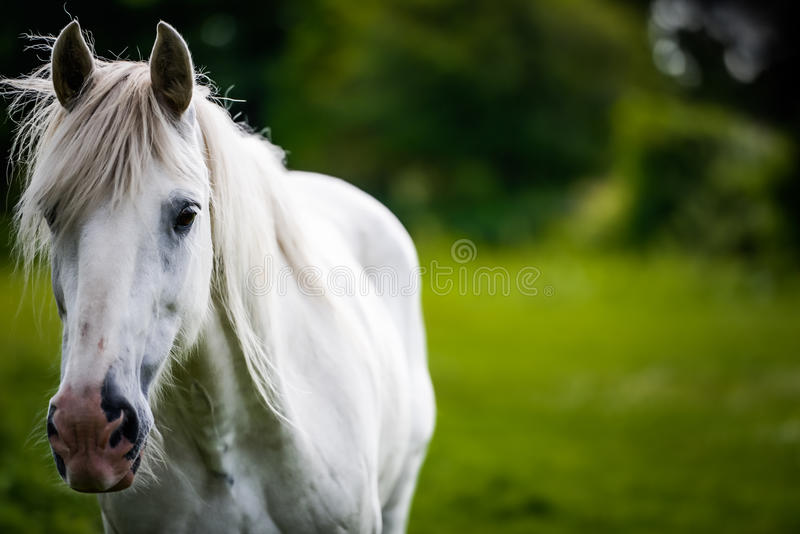White horse (a grey) getting close. A white horse (known as a grey or a gray) walks up to the camera in a paddock in rural North Yorkshire, United Kningdom. The stock image