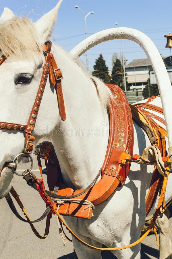 A white horse harnessed to a cart. Fastening the cart to the horse`s collar stock photo