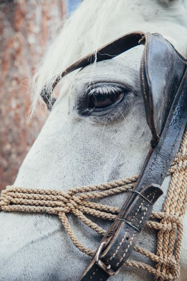 White horse head royalty free stock photo