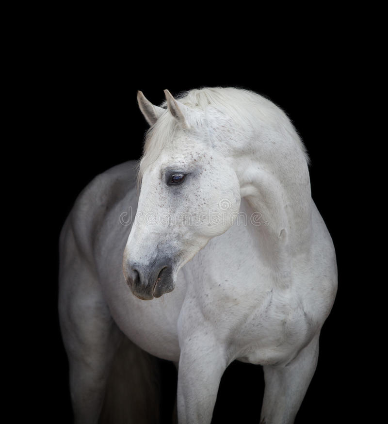 Free White Horse Head Close Up, On Black Royalty Free Stock Images - 48519939